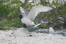 Swallow tail gulls