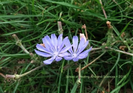chicory_flower_Provence