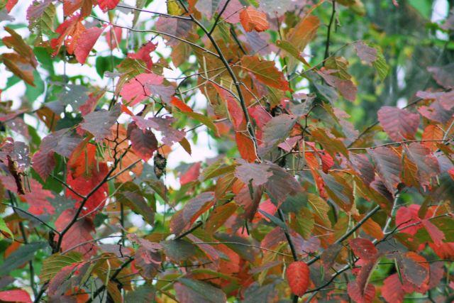 24 oct 13 birch tree leaves