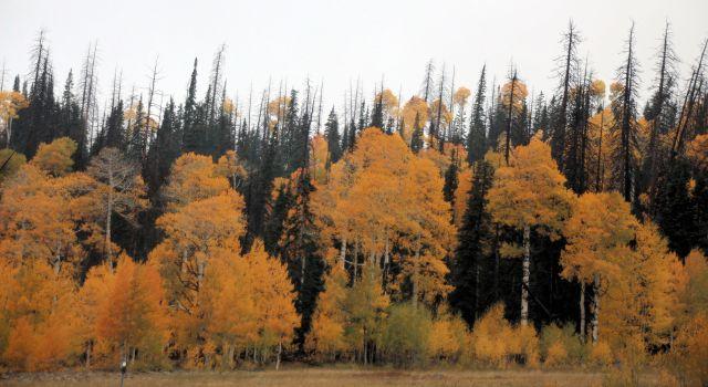 sept-2016-aspens-among-pines-11