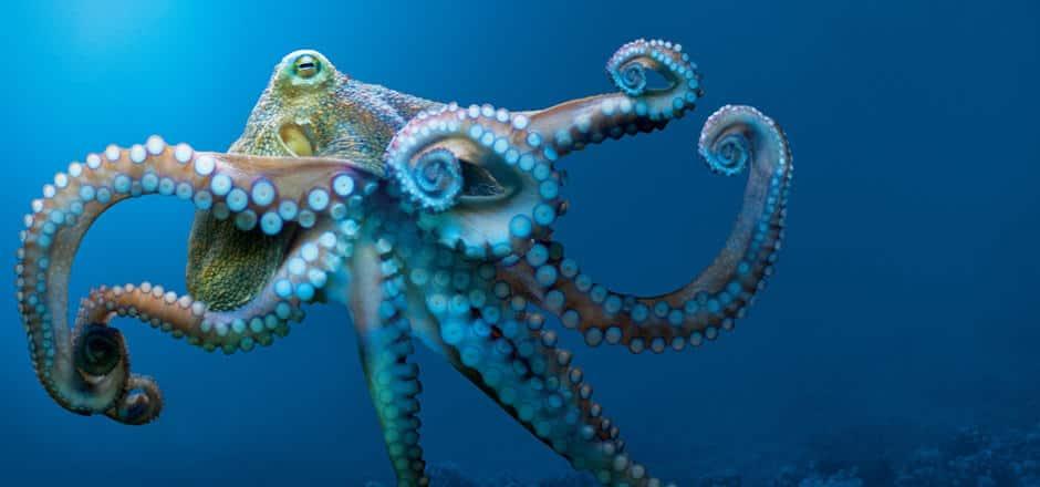 octopus-blue-ocean