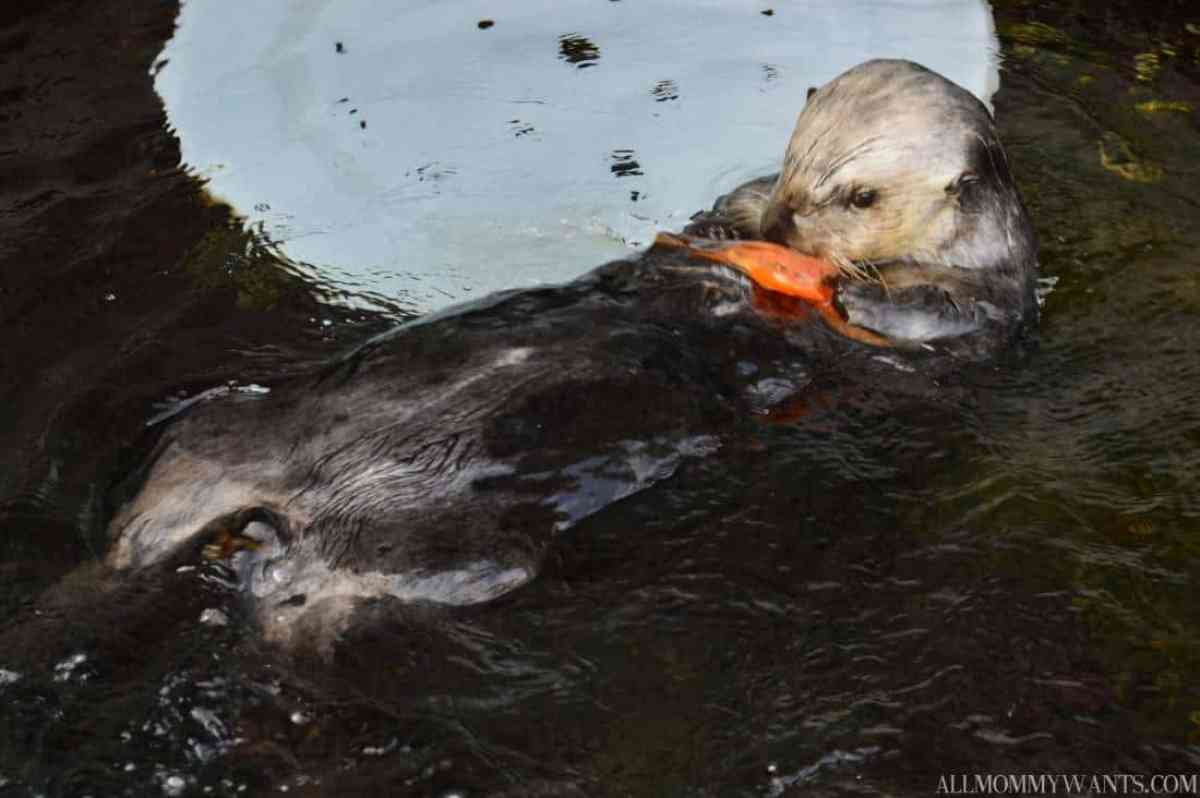 Monterey Bay Otter 1