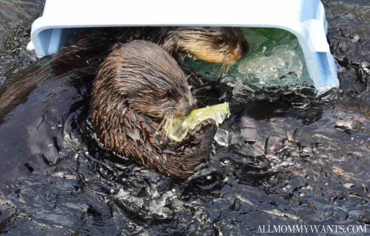 Monterey Bay Otter 4