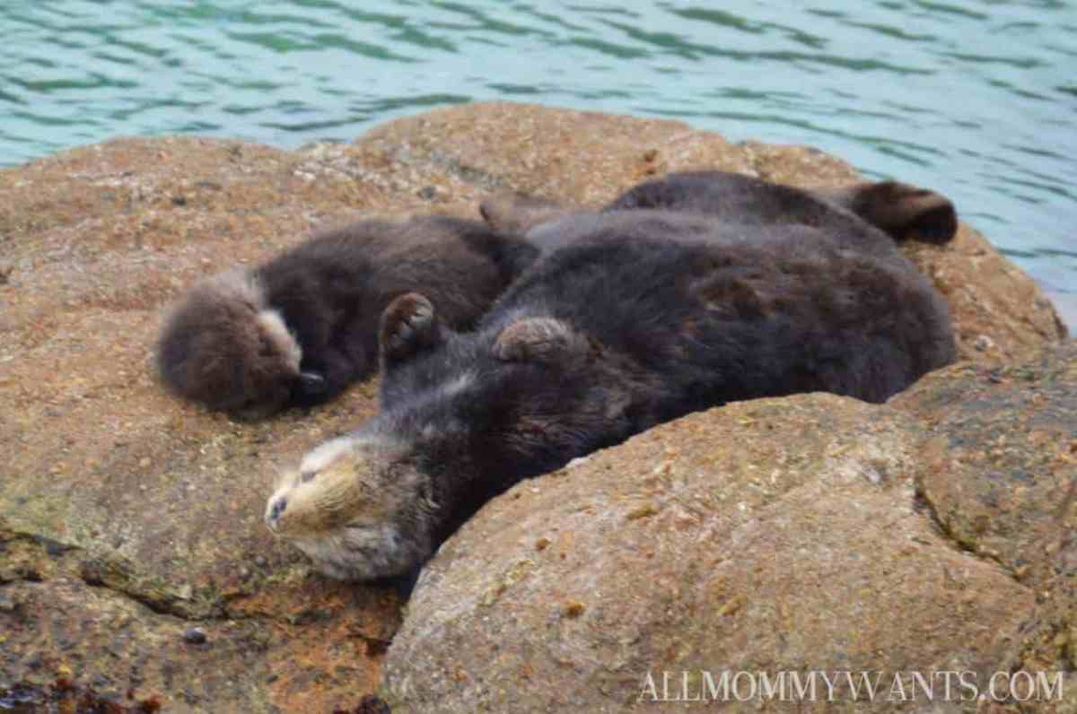 Monterey Bay Otter Baby 3
