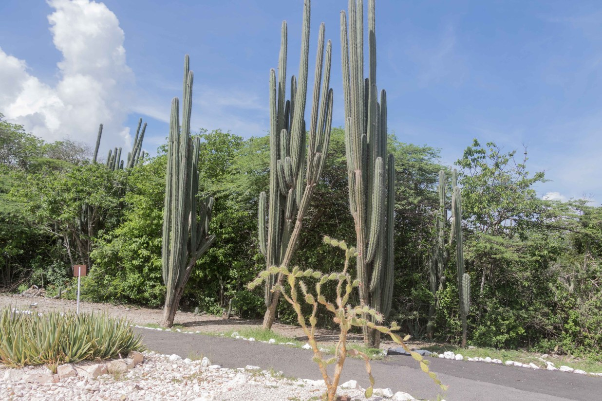 Cactus Gardens at the entrance of the Hato Caves located on the north side of Curaçao island near Willemstad.