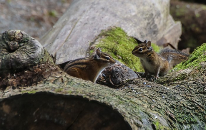 The Red-Tailed Chipmunk is one of five types of species found in Canada. These chipmunks can be found in wooded areas of British Columbia and Alberta in Canada; and Washington, Montana and Idaho in the US.These animals belong to the rodent family and like to eat seeds, berries, grasses and fruit. Photo Credit: Wendy Nordvik-Carr