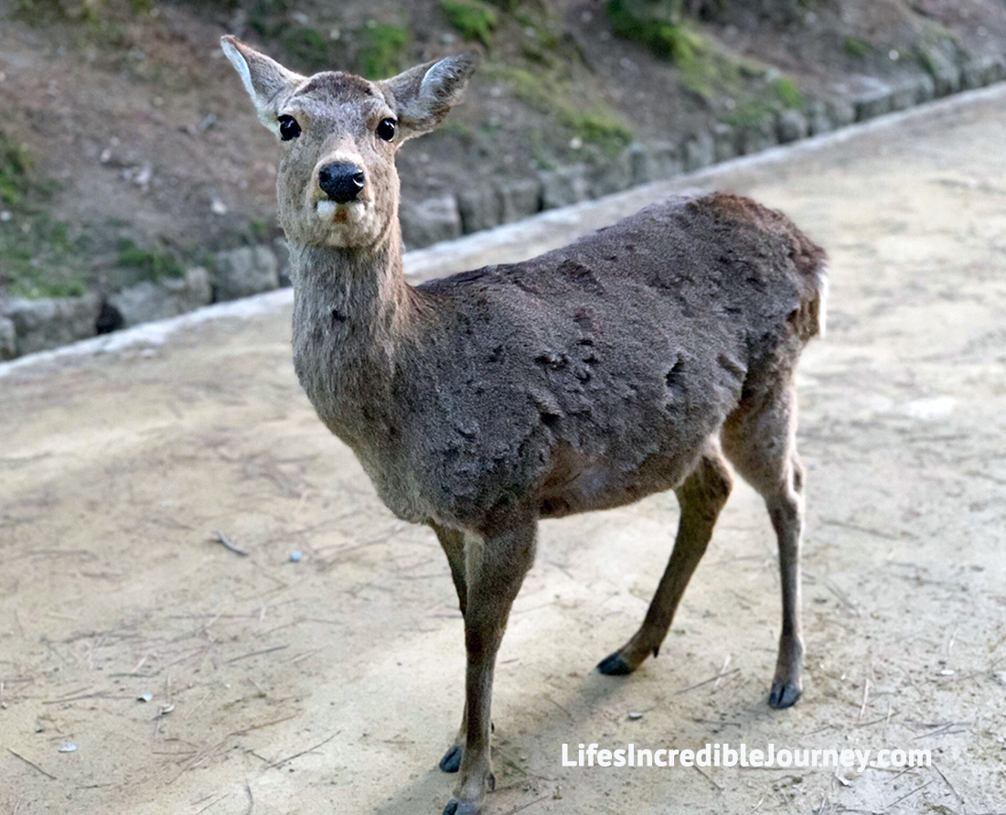 Where to see the famous Bow to a Nara Deer in Japan. Photo Credit: Melanie Lomond©