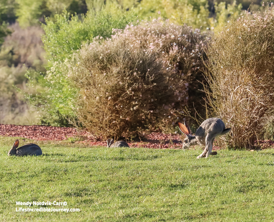 Black-tailed jackrabbit frequent the area around Powell Lake, Utah. Photo Credit: Wendy Nordvik-Carr©