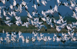 A mass of migrating snow geese