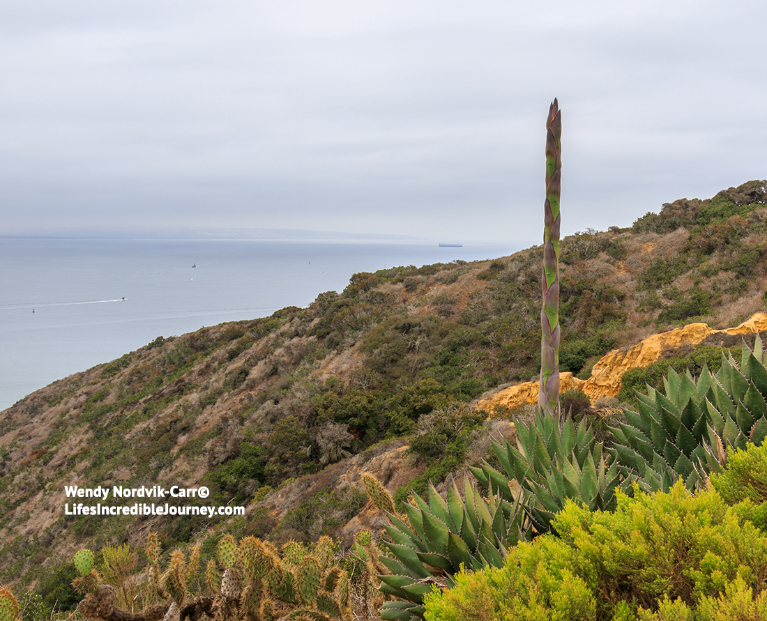 San Diego's Point Loma Naval property and Cabrillo National Monument has the largest collection of the rare Shaw's agave plant in the United States. Photo Credit: Wendy Nordvik-Carr©