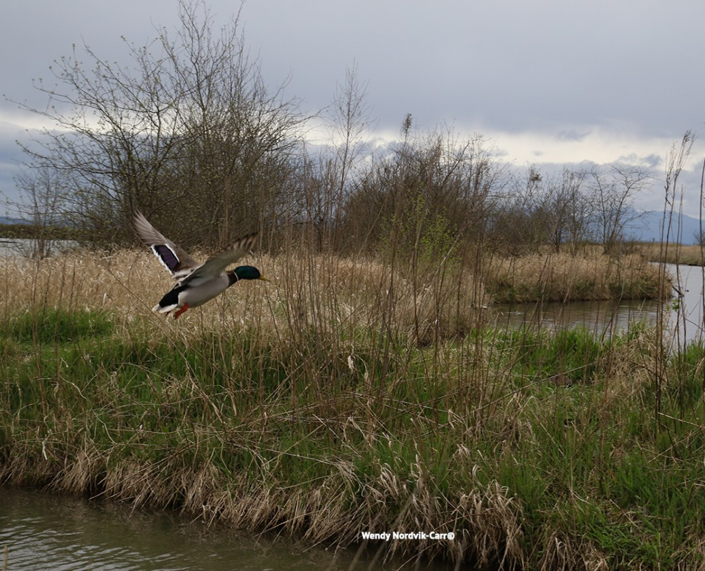 Reifel Bird Sanctuary Discover one of the best birdwatching places in Canada Photo Credit: Wendy Nordvik-Carr©