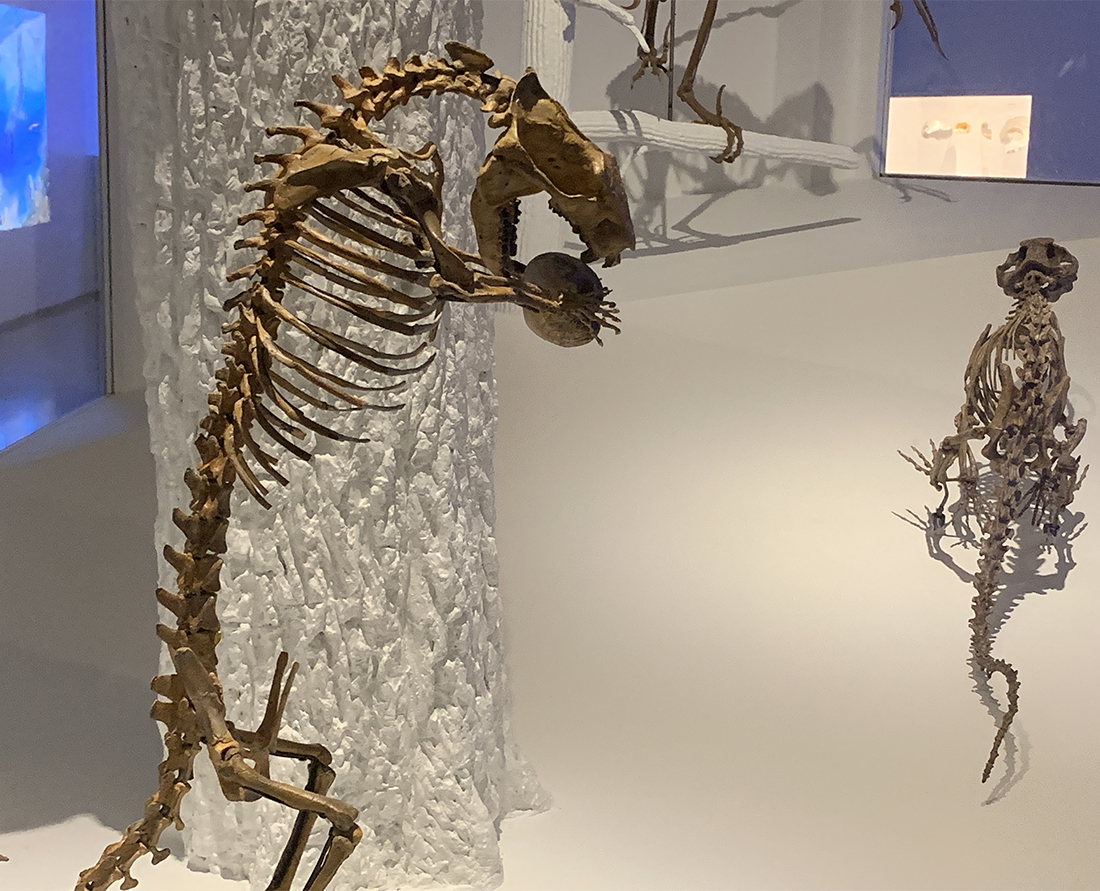 Dinosaur discovery tour at the Museum of Natural Science in Houston. See the worlds only skeleton of Didelphodon has face of Tasmanian devil. Photo Credit: Wendy Nordvik-Carr©