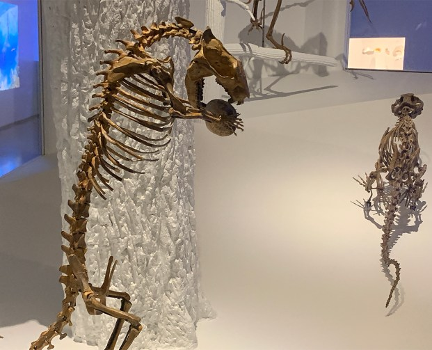 Worlds only skeleton of Didelphodon has face of Tasmanian devil. Photo Credit: Wendy Nordvik-Carr©