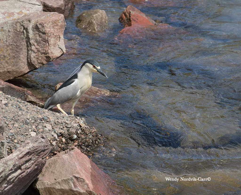 A majestic black-crowned night-heron waiting for breakfast along St. Marys River, Sault Ste. Marie. Photo: Wendy Nordvik-Carr.