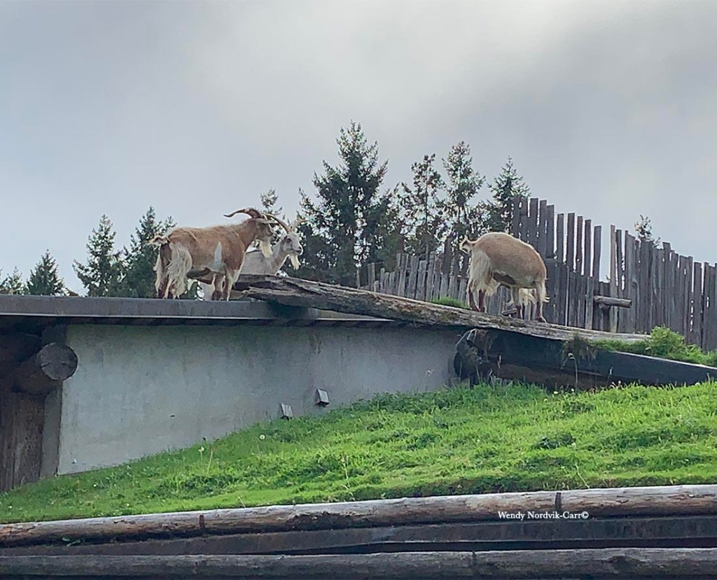 Top things to do Vancouver Island visit Coombs Market Goats on the Roof. Photo Credit: Wendy Nordvik-Carr©