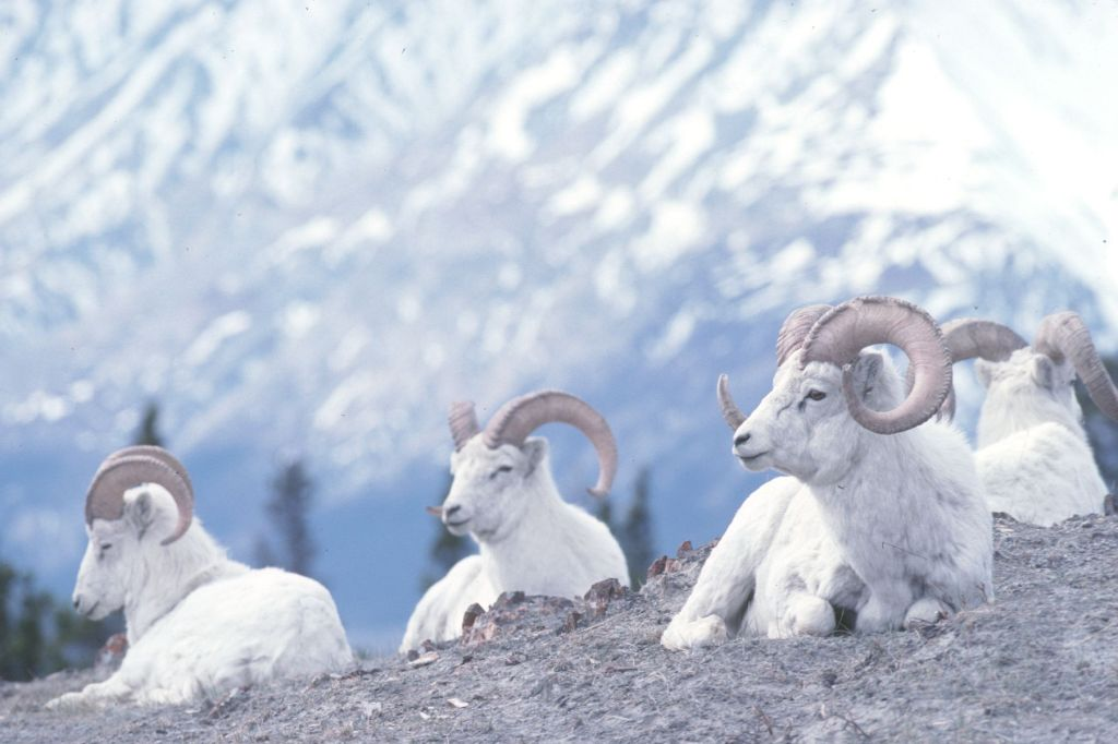 Klondike Kluane Loop one of most scenic Yukon roads Mountain sheep sit on the ridge Photo Credit Yukon Government