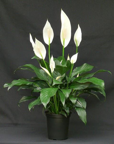 Piante da appartamento con fiori - Spatifillo