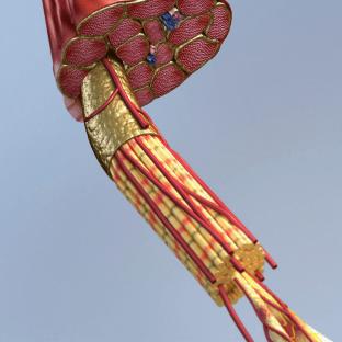 muscl fibers