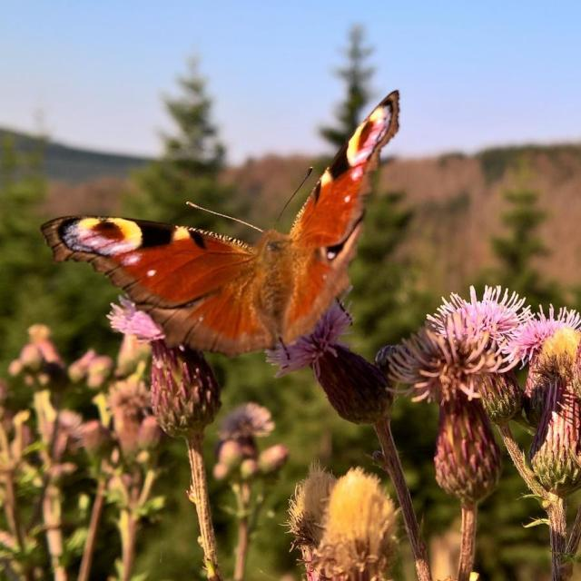 Schmetterling am Brocken im Harz