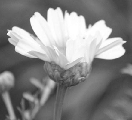 Flowers in Black&White – Cee's #Black&White Challenge