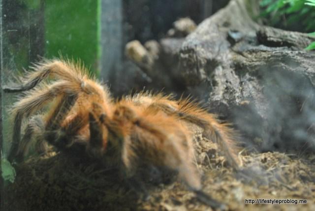 A Hairy Tarantula