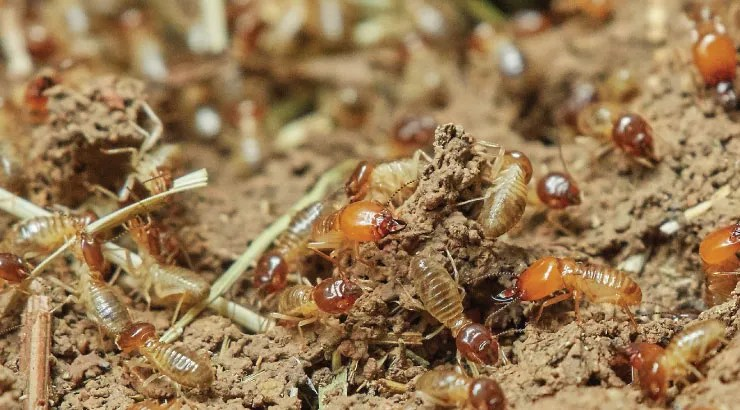 termites---Summer-Insects-to-Watch-Out-For