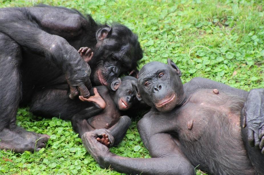 Chimpanzees that have oral sex