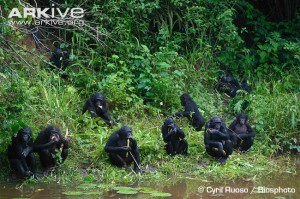 Bonobo-group-by-water