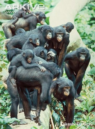 Mixed sex party of bonobos, females in centre