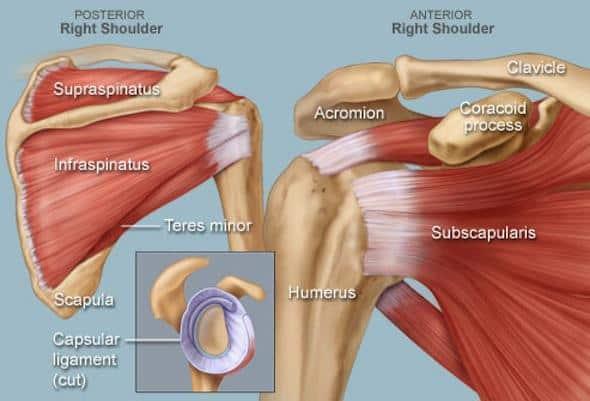 anatomical drawing of shoulder