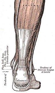 Achilles tendon drawing
