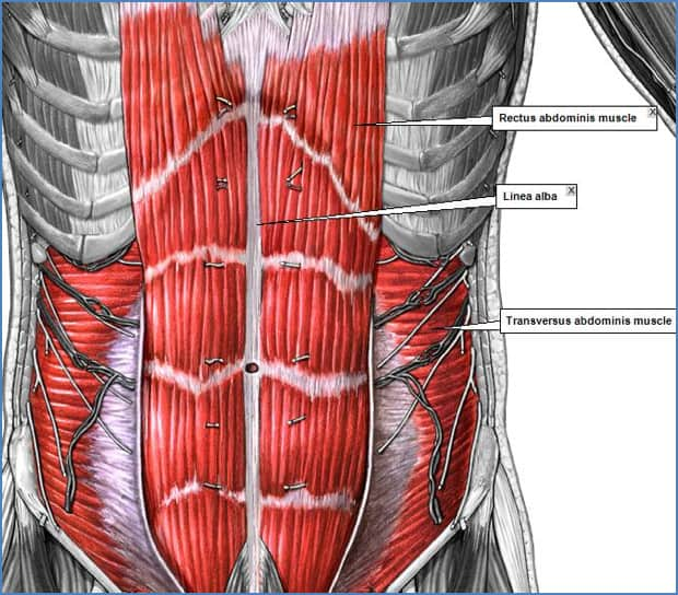 Anatomical drawing of core abdominal muscles