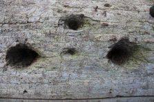 C/U of fallen tree with woodpecker holes.