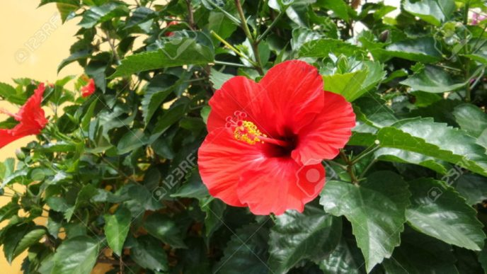 hibiscus flower or gumamela