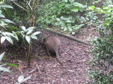 This picture makes the wallaby look a little like a big rat, but he really looks like a mini kangaroo
