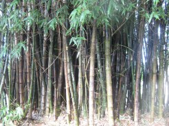 Bamboo - just growing on the side of the pathways