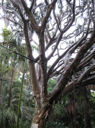 Amazing trees in the arboretum section of the gardens. Unfortunately it was REALLY raining so we hurried along