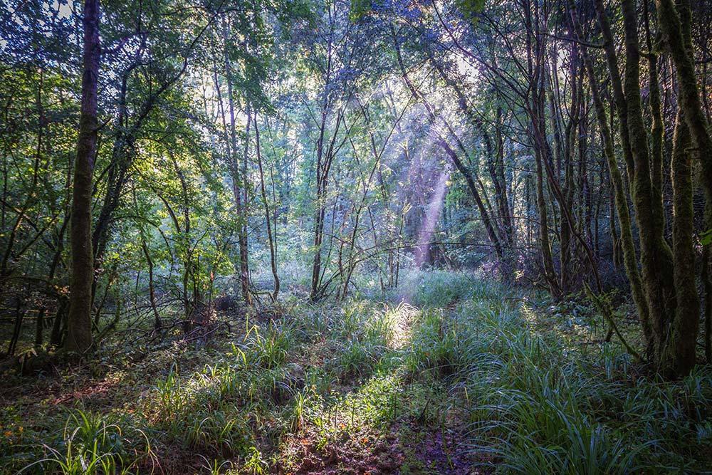 boisements alluviaux, habitats caractéristiques du Vison d'Europe
