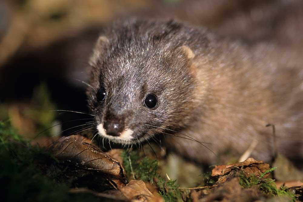 le Vison d'Europe, espèce classée en danger critique d'extinction et ciblée par le programme Life Vison