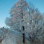 Дерево в инее. 2010.01
