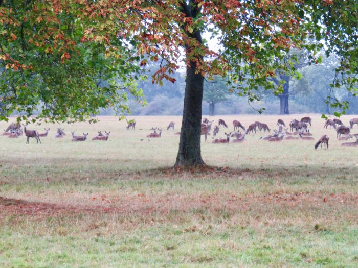 windsor great park deer autumn
