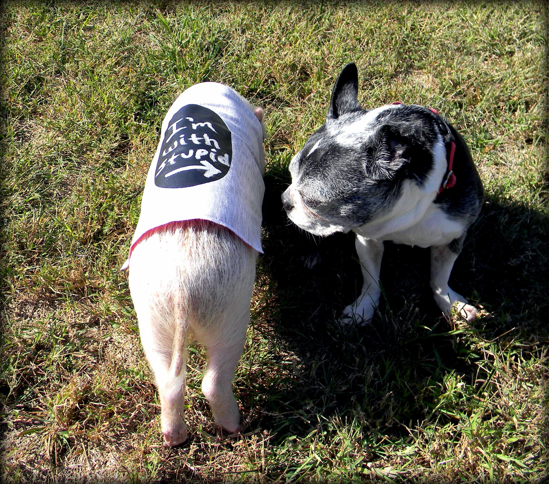 5d68f6b00720f Mini Pig Clothes Update: Oscar Has New Clothes | Life with a Mini Pig