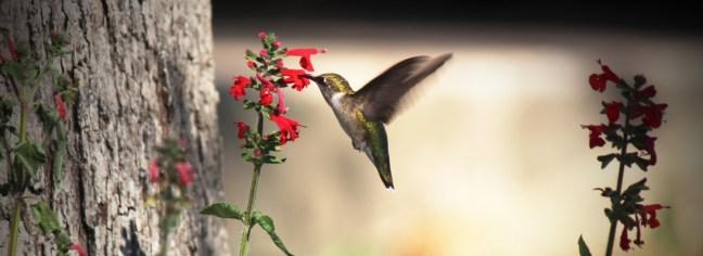 cropped-hummingbird-41.jpg