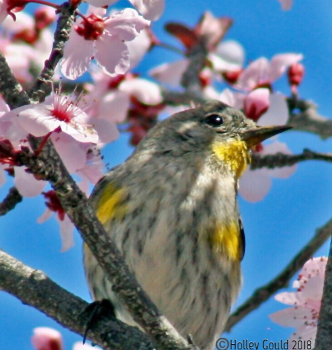 Grey and yellow bird in pink plum blossom tree, against brilliant blue sky.
