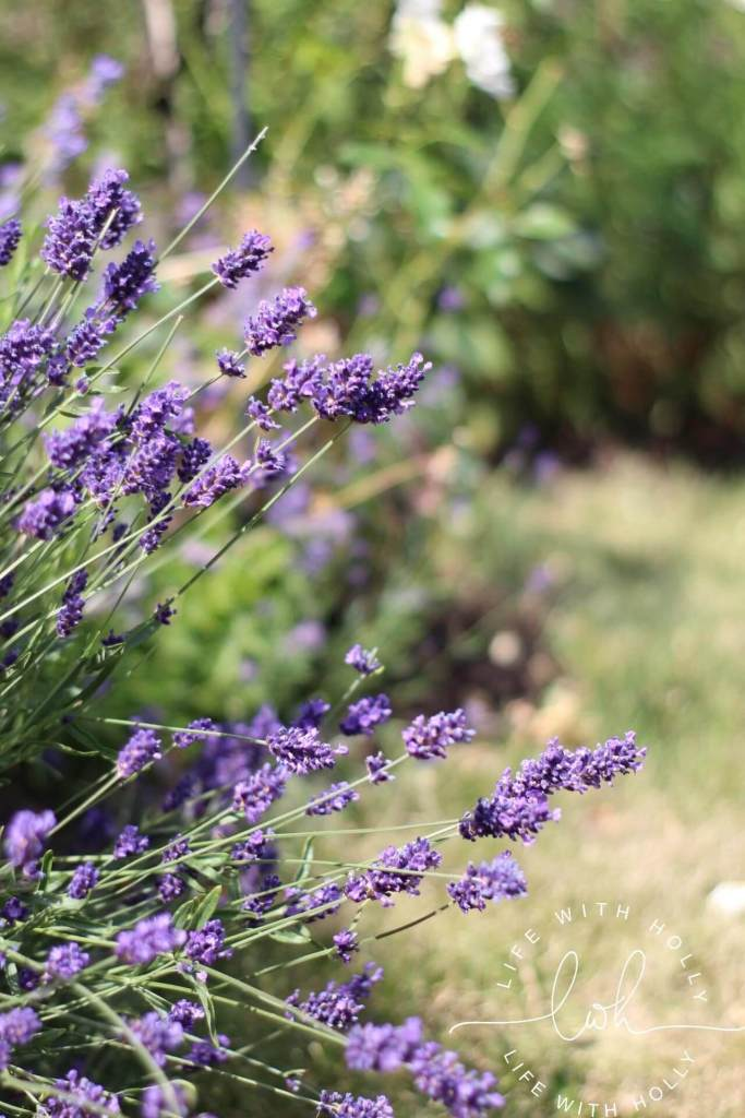 Cutting Patch - Lavender - North Facing Cottage Garden - My Garden in June - Life with Holly (11)