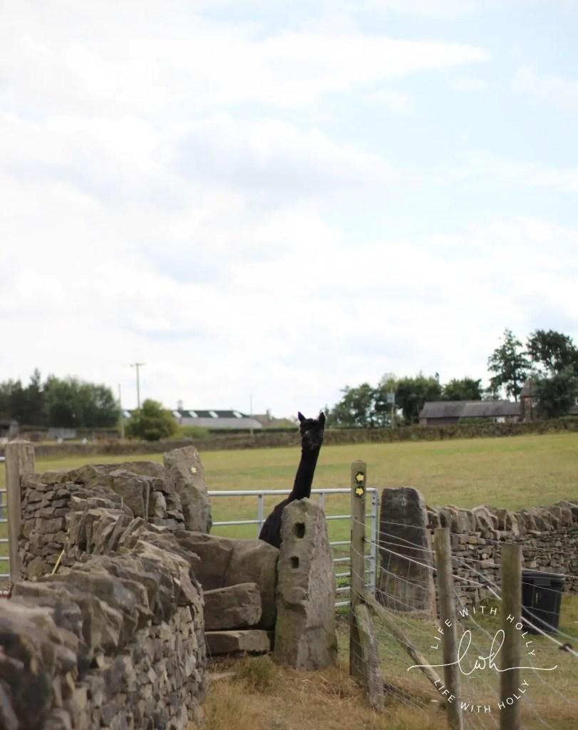 Black Alpaca - Summer Walks - Life with Holly