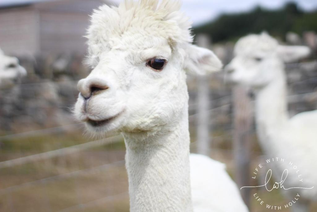 White Alpaca Holmfirth - Summer Walks - Life with Holly