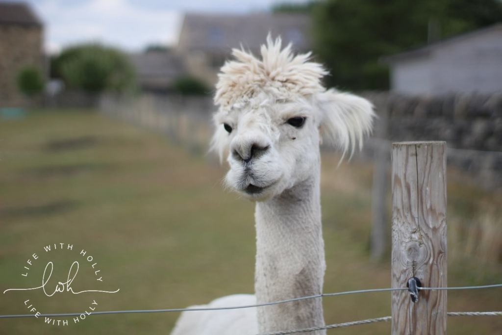 White Alpaca - Summer Walks - Life with Holly