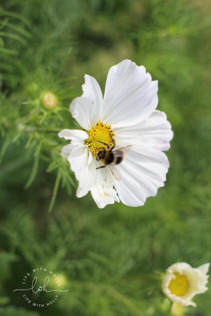 White Cosmos - Life with Holly Blog