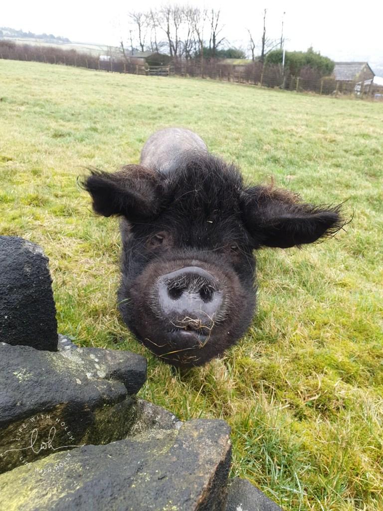 Black Pig - Weekend-Wander-Round-Bradshaw, SlaithwaitePole-Moor-Huddersfield-Life-with-Holly-Geocache